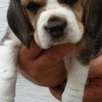 Pure Bred Beagle Pups For Sale