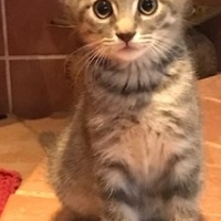 Tjipoo (Male) CatzRUs Adoption package incl Sterilisation, Microchip, 8 & 12 week vaccinations...