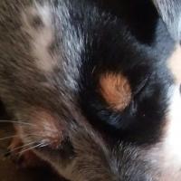 Australian Cattledog Puppy (blue heeler)