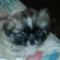 2 x Pekingese Puppies for sale