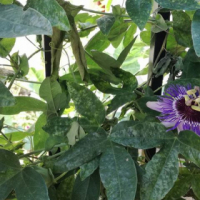 Passiflora purple haze rare creeper in 5L bags