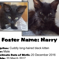 Harry (Male) A CatzRUs Kitten with a beautiful fluffy Maine-Coon-like coat