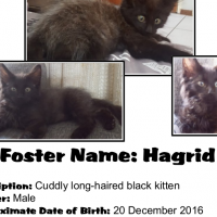 Hagrid (Male) A CatzRUs Kitten. Price incl Sterilisation, Microchip, Vaccinations at 8 & 12 weeks...