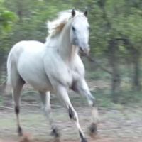 Imported registered Appaloosa black few spot stallion