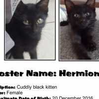 Hermione (Female) Kitten from CatzRUs. Price incl Sterilisation, Microchip, 8&12 week Vaccinations