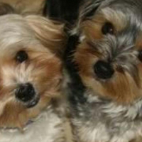Morkie puppies available.
