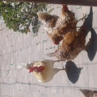 7 chickens for sale