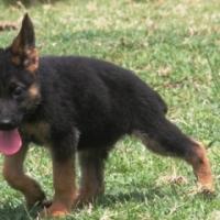 German Shepherd Puppies KUSA Registered Montana, Pretoria