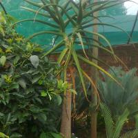 Tree Aloe/ Boom alwyn
