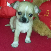Beautiful Registered Chihuahua boy