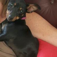pincher foxterier puppy for sale