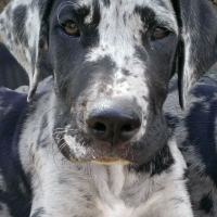 Great Dane puppies, pedigree Tricolour