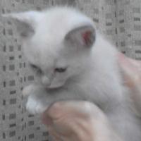 Thorough bred Siamese Kittens