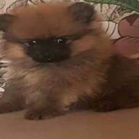 Cute Toy Pom puppies