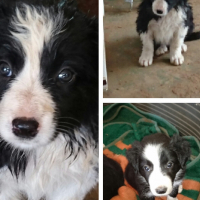 Bordercollie puppies for sale