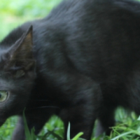 Adopt Crystal! - our playful pouncer - a special CatzRUs kitten