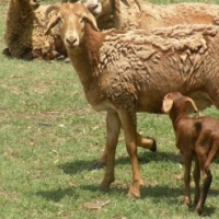 Sheep - Damara 4 horn Ram and 2 x Ewes (Breeding Group)