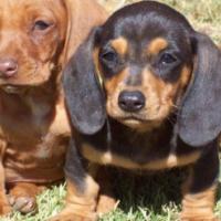 MiniatureDachshundPuppies!Worshondjies/worsies