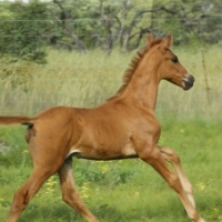 Warmblood colt - Mythos Aries for sale