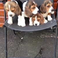 Beagle Puppies Ready To Go Now
