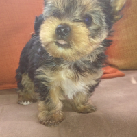 Yorkshire terriers Pure bred