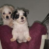 Small Type Maltese puppies
