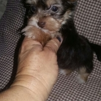 Pocket Female Yorkie