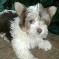 Yorkshire Terrier-Biro puppies