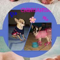 Chihuahua Geregistreerd
