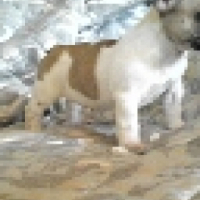 pedigree french bulldogs from imported lines