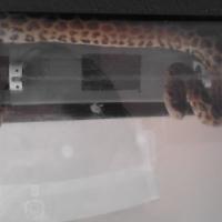 Yellow Annie Female Snake