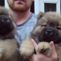 Chow Puppies
