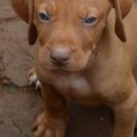 Hungarian Vizsla puppies - KUSA registered