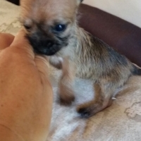 Very Small Yorkie X Chihuahua Puppies
