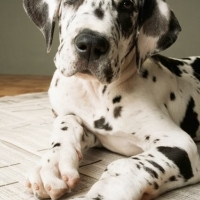 Great Dane Puppies Vetted and Vaccinated Ready to Go (Blue and Herlequin)