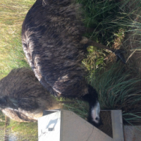 Emu breeding pairs and juveniles
