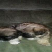 pikaniese puppys