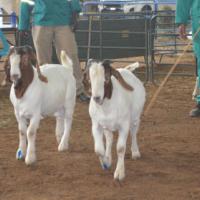 40 Boer Goat Package for sale