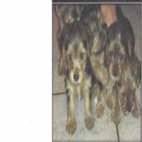 Yorksire Terrier Puppies