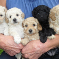 Toy French Poodles Puppies for Sale
