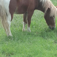 Looking for a Pony Mare