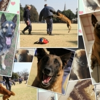 German Sheppard /Malinois Puppies for sale