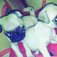 Beautiful Purebred Pug Puppies