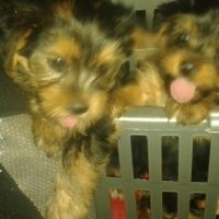 6 Yorkie Puppies for sale