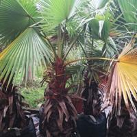 Washingtonia robusta palm trees for sale