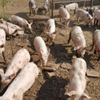 PIGLET WEANERS  x 26 & ADULT PIGS FOR SALE