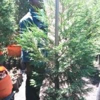 Cypress leylandii