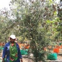 Buddleja salinga (False olive) trees for sale