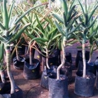 Aloes for sale