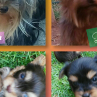 Yorkshire Terrier puppies (Yorkies)